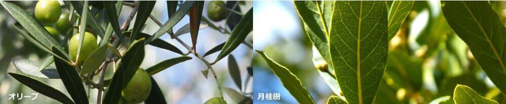 アレッポの石鹸の原料オリーブと月桂樹
