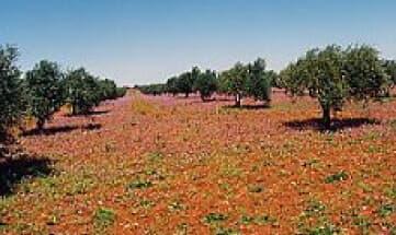 どこまでも続くオリーブ畑。毎年10月に新鮮なオリーブを収穫します